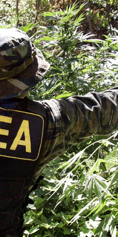 A Kábítószer-ellenes Hivatal (DEA) idén 3.200.000 g kannabisz termesztését engedélyezi